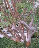 Tree mahogany (Arbutus andrachne L.) — Stock Photo