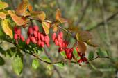 Branch of a barberry ordinary (Berberis vulgaris L.) with berrie — Stock Photo