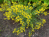 The blossoming genista tinctorial (a genista blood-thirsty) (Gen — Stock Photo