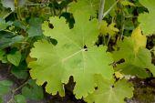 Macleaya heart-shaped (Macleaya cordata (Willd.) R.Br.), leaf cl — Stock Photo