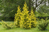 Thuja western grades golden and motley (Thuja occidentalis L. Au — Stock Photo