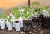 The tomato seedling in plastic glasses costs in the greenhouse — Stock Photo