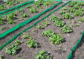 Beds with strawberry and garlic on a garden site in the spring — Стоковое фото