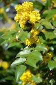 Branch of the blossoming trailing mahonia (Mahonia aquifolium (P — Stock Photo