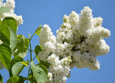 The blossoming white terry lilac (Syringa L.) against the sky — Stock Photo
