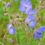 The blossoming geranium meadow (Geranium pratense L.) — Stock Photo #77216159