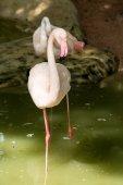 White flamingo standing — Zdjęcie stockowe