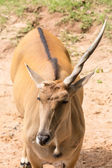 One horn impala — Stock Photo