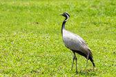 Black and white crane bird — Zdjęcie stockowe