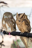 Brown owls perching — Stock Photo
