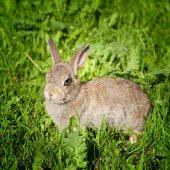 Молодой кролик кролик, глядя через зеленая трава — Стоковое фото