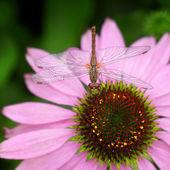 Libellula seduto sul fiore di echinacea rosa — Foto Stock