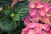 A pink hortensia flower with a green leaves — Stock Photo