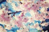 Vintage cherry blossom, sakura flowers  — Stock Photo