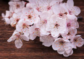 Close up of cherry blossom flowers on a vintage wood background — Foto de Stock