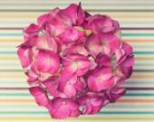 Uma flor hortênsia rosa luz sobre um fundo despojado — Fotografia Stock