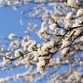 Spring cherry blossom tree on a sunny march day on blue sky back — Stock Photo