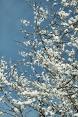 Beautiful cherry blossom branches on a sunny spring day on blue — Stock Photo