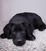 A black labrador retriever looking at you felling tired — Stock Photo