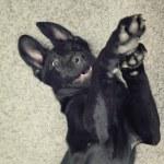 Top view of playfull happy black labrador retriever dog — Stock Photo #78253006