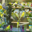 Wavy parrots in the hutch — Stock Photo #57924493