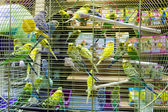 Wavy parrots in the hutch — Stock Photo