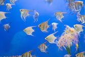 Aquarium fish scalare — Stock Photo
