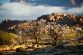 Blooming almond in Tafraout, Morocco... — Stockfoto