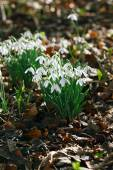Snowdrops flowers in winter forest — Stock Photo