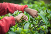 Hands of tea picker on Sri Lanka — Stock Photo