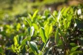 Tea leaves in morning sunrise sun — Stock fotografie