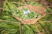Bundle of betel leaves — Stock Photo