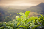 Tea leaves in sunset colors — Stock Photo