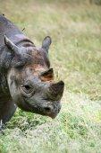 Black rhinoceros diceros bicornis michaeli in captivity — Stock Photo