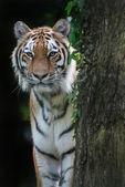 Bengal tiger panthera tigris tigris in captivity — Stock Photo