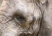Close up facial portrait of African Elephant Loxodonta Africana — Stock Photo