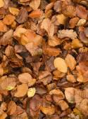 Golden beech tree leaves on ground in Autumn — Zdjęcie stockowe