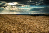 Stunning countryside landscape wheat field in Summer sunset — Stock Photo