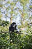 De Brazza monkey eating in treetops Cercopithectus neglectus — Foto Stock