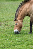 Przewaski horse equus ferus przwealski in captivity — Stock Photo