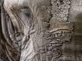 Close up facial portrait of African Elephant Loxodonta Africana — Stock Photo