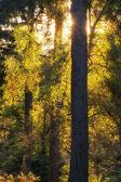 Stunning vibrant Autumn landscape of sunburst through trees in f — Stock Photo