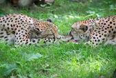 Deux guépards se battre avec le morceau de viande acinonyx jubatus — Photo