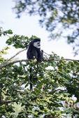 De Brazza monkey eating in treetops Cercopithectus neglectus — Stock Photo