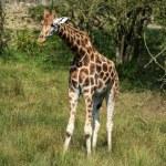 Giraffes running if field on sunny day Giraffa Camelopardalis — Stock Photo #54218355
