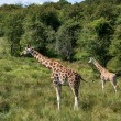 Giraffes running if field on sunny day Giraffa Camelopardalis — Stock Photo #54218425