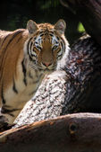 Bengal tiger panthera tigris tigris in captivity — Stock Photo