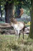 Mature fallow deer buck in forest on Autumn Fall morning landsca — Stock Photo