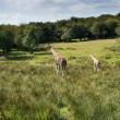 Giraffes running if field on sunny day Giraffa Camelopardalis — Stock Photo #58189017