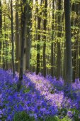 Beautiful morning in Spring bluebell forest with sun beams throu — Stock Photo